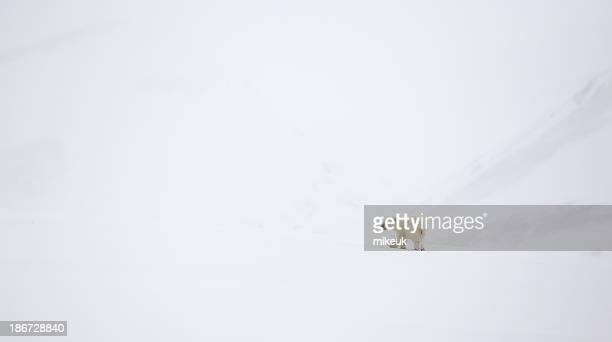 lone polar bear cub zu Fuß auf Schnee in Spitzbergen