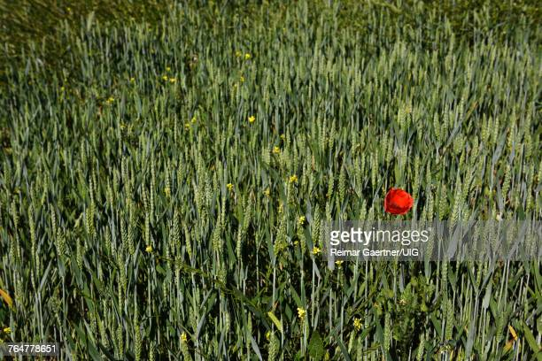 Lone Poppy flower and Yellow Rocket in field of spring wheat in Puerto Lope Spain