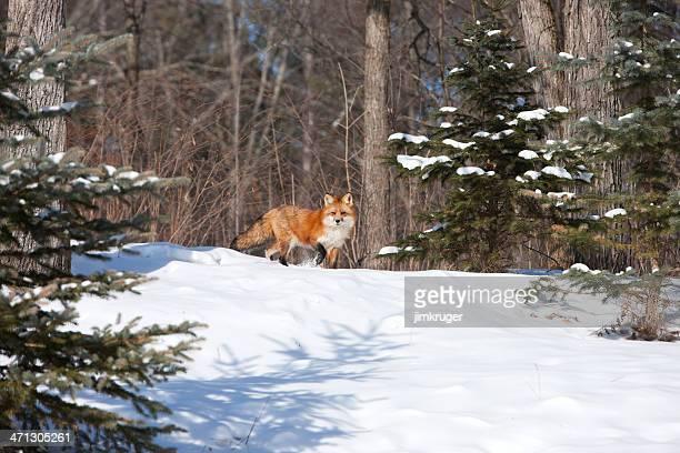 Lone Raposa vermelha na Reserva Ecológica de Inverno.