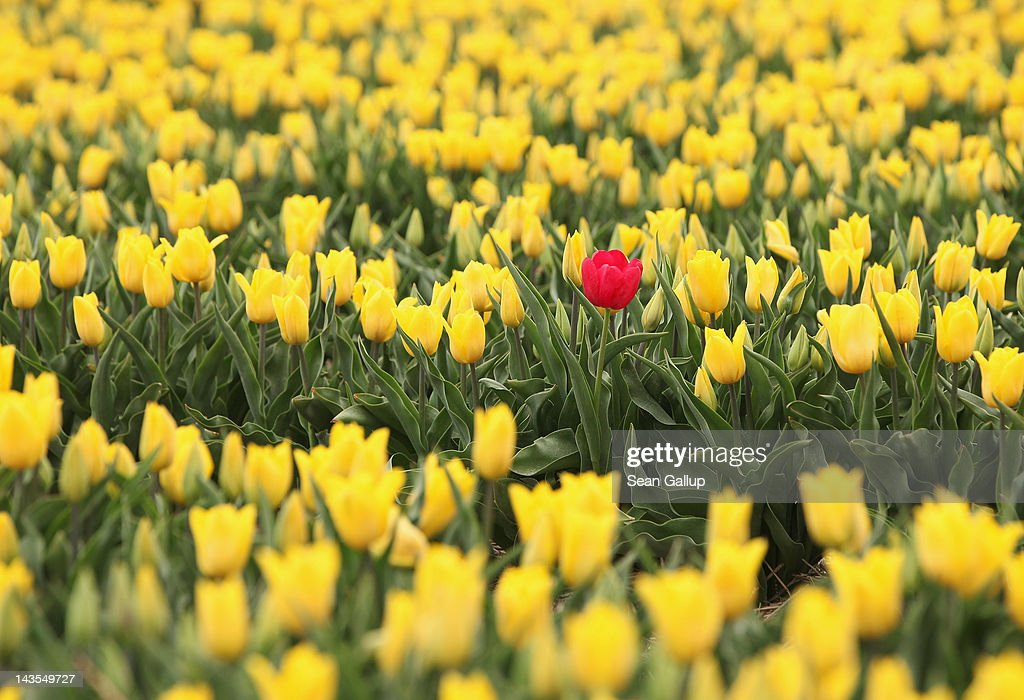 A lone red tulip blossoms among yellow tulips in a farmer's field in eastern Germany on April 27, 2012 near Schwaneberg, Germany. The plants are harvested for their bulbs rather than their flowers.