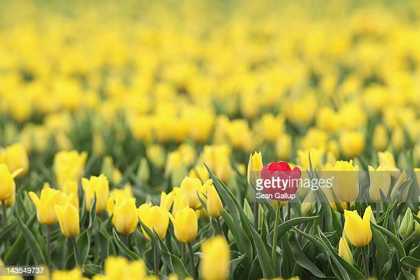 A lone red tulip blossoms among yellow tulips in a farmer's field in eastern Germany on April 27 2012 near Schwaneberg Germany The plants are...