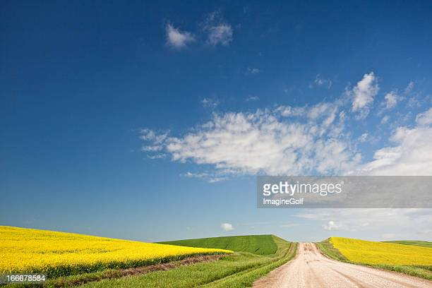 Lone road through the fields of Canola