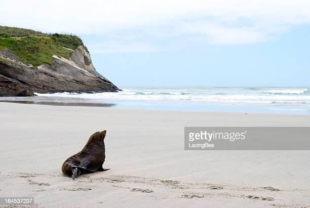 Lone Seal, Wharariki Beach, Golden Bay, NZ