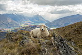 Fluffy sheep lies on a mountain ridge above the lake Wanaka located on New Zealand's South Island.