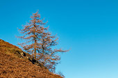 A lone pine tree against the bright blue Cumbrian sky. Shot on Christmas eve, 2018 whilst on a walk around Catbells and Derwent Water.