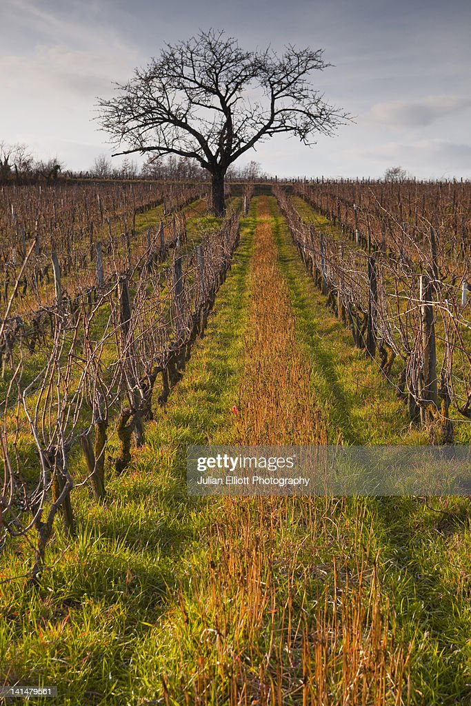 A lone tree amongst the vineyards of Chinon.