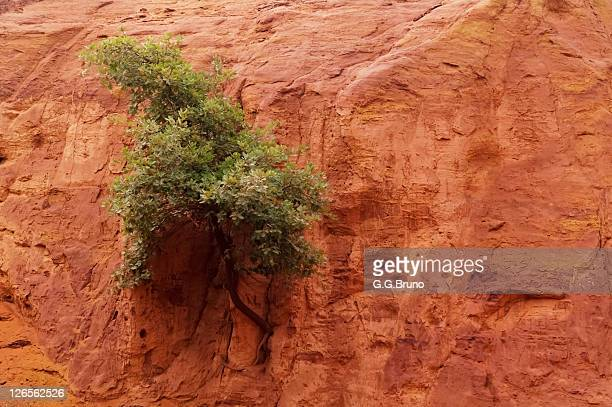 Lone tree growing on red clay soil