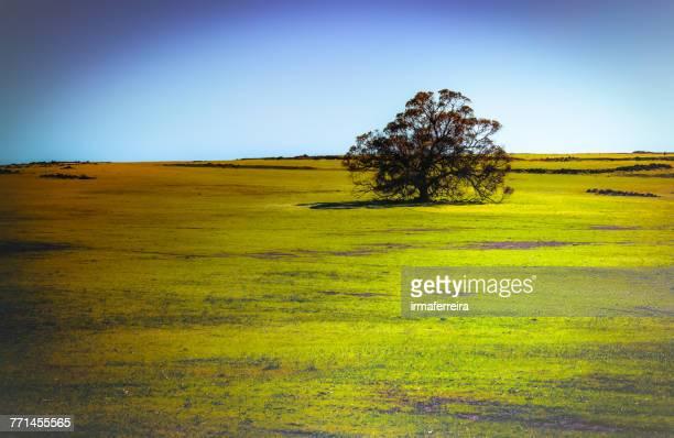 Lone tree in a field, Northam, western Australia, Australia