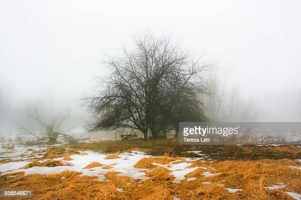 Lone tree in a foggy meadow