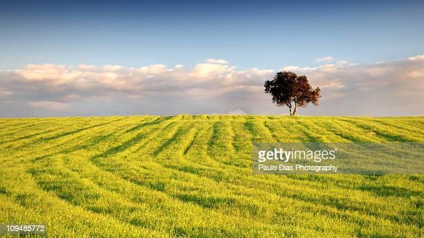 Lone tree in a yellow flower field