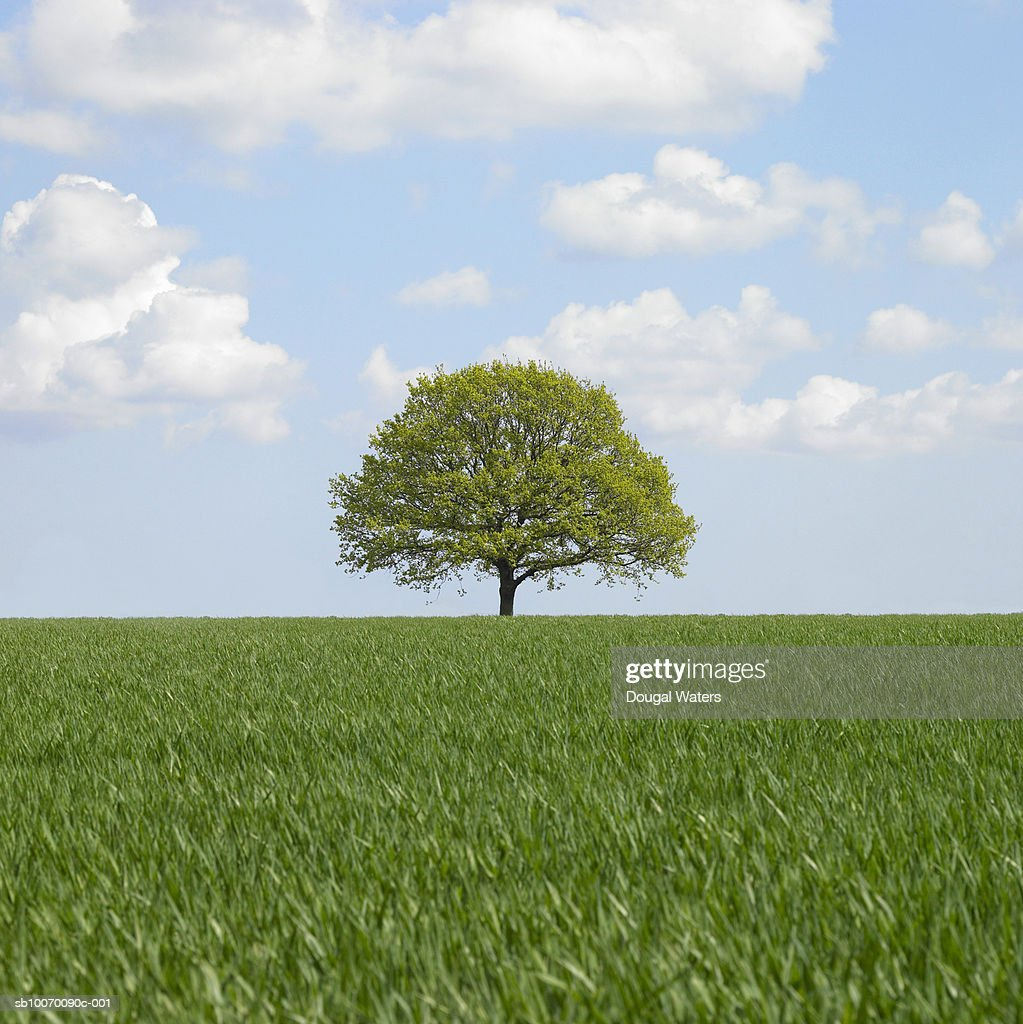 Lone tree in field : Stock Photo