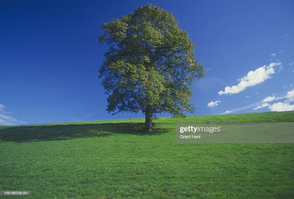 Lone tree in field under blue sky : Stock Photo