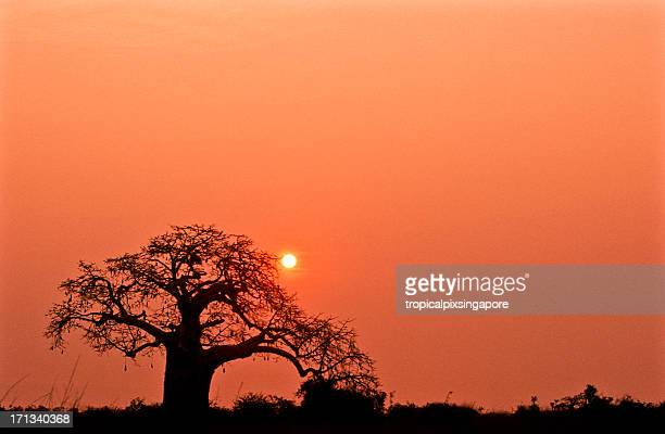 A lone tree in Kissama National Park in Angola at sunset