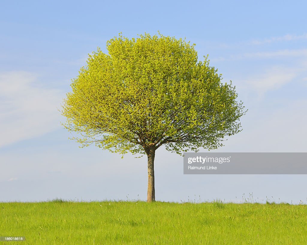 Lone Tree in Spring