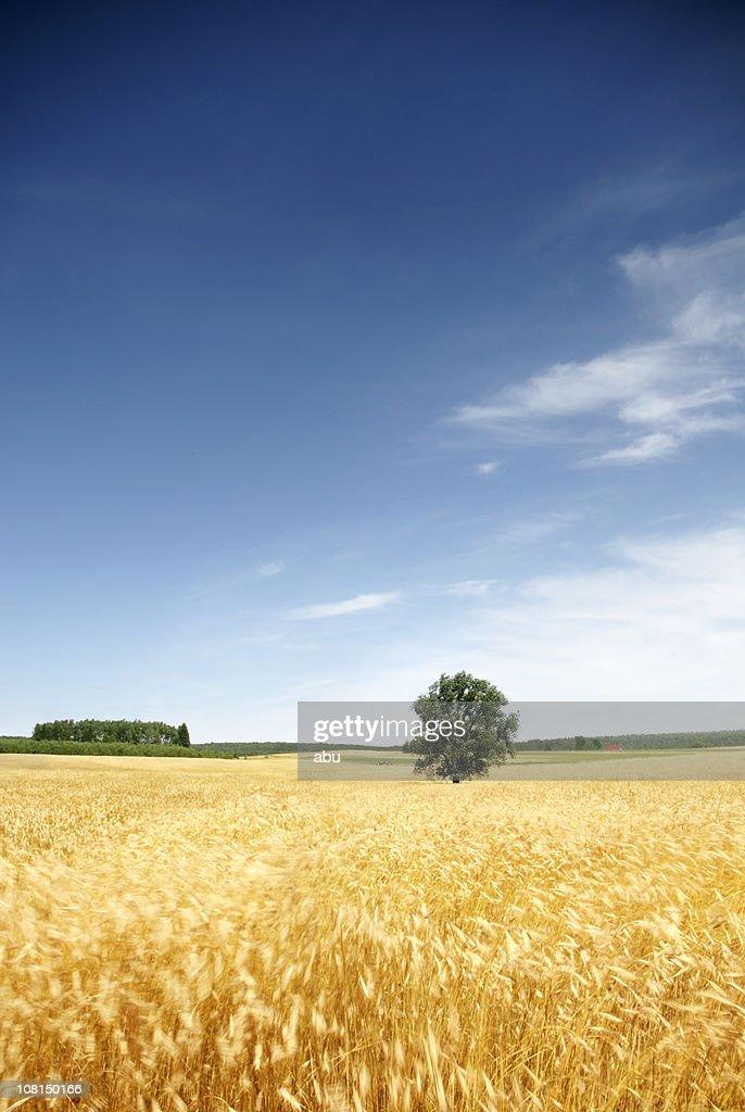 Lone Tree in Wheat Field Against Blue Sky : Stock Photo