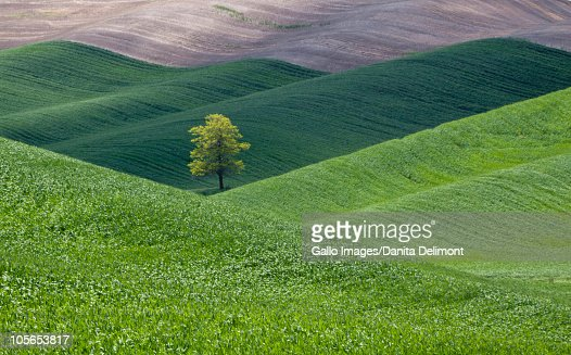 Lone tree in wheat field, Palouse Region, Washington State, USA : Stock Photo