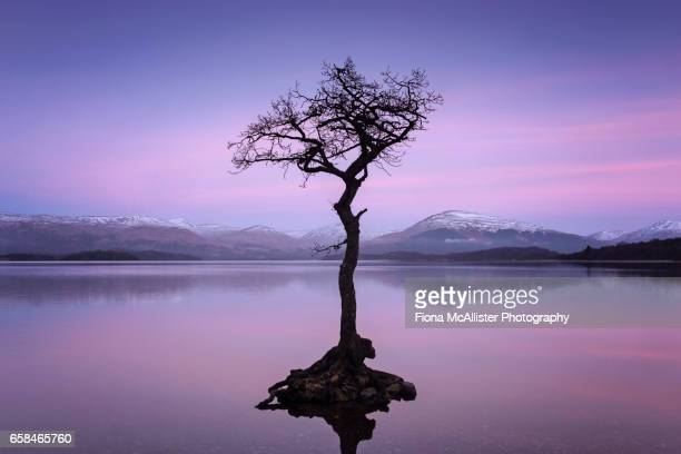 Lone Tree, Milarrochy Bay, Loch Lomond