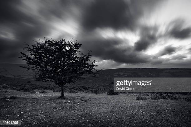 Lone tree on the wild and rugged open land at Dartmoor National Park in Devon.