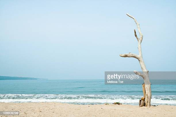 Lone white and bare tree on the beach