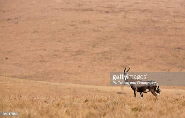 Lonely African Blesbok antelope