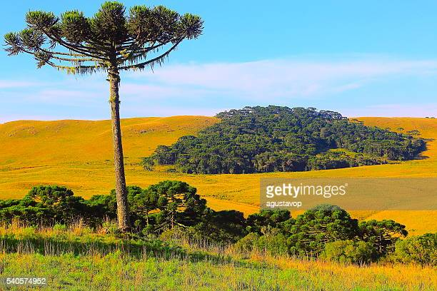 Lonely Araucaria pine tree, Southern Brazil estancia countryside