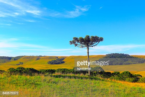 Lonely Araucaria pine tree sunrise, Southern Brazil, Gramado countryside