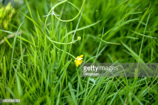Lonely Buttercup : Stock Photo