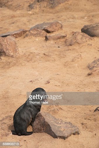 Lonely Cape fur seal pup