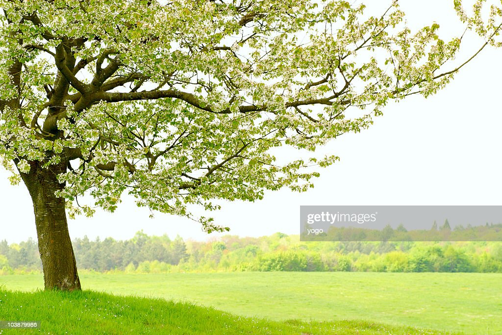 Lonely cherry tree : Stock Photo