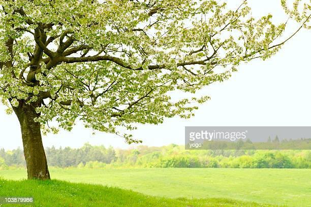 Lonely cherry tree