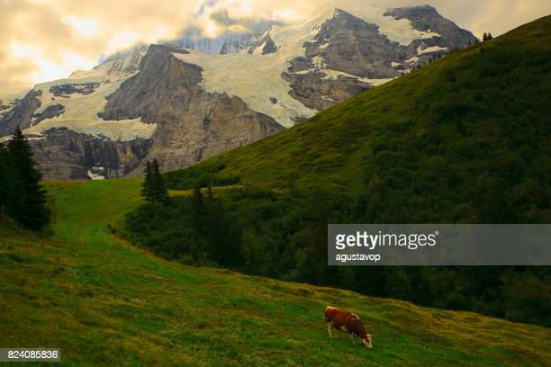 Lonely cow herding under Jungfrau, above Wengen and Lauterbrunnen valley, Fary tale landscape: idyllic alpine valley and meadows, dramatic swiss snowcapped alps, idyllic countryside, Bernese Oberland,Swiss Alps, Switzerland