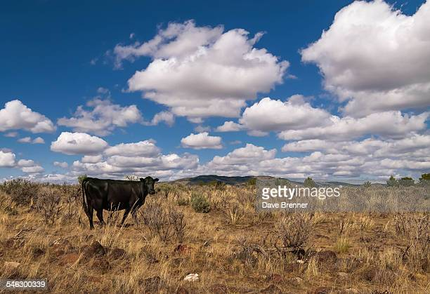 Lonely Cow