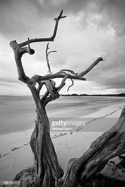 Lonely Dead Tree On Caribbean Beach
