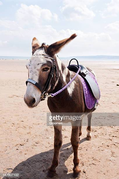 Lonely donkey waiting on beach for trade.