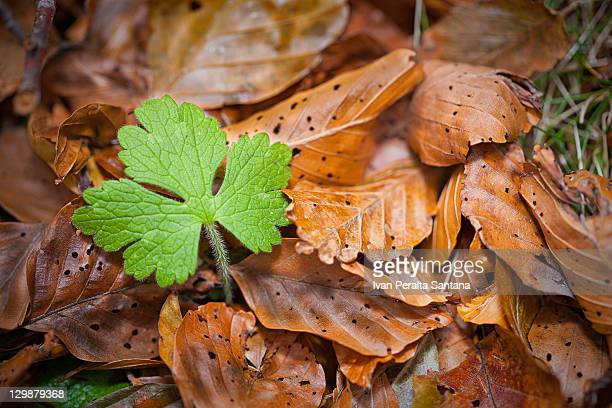 Lonely fresh green leaf in dried leaves