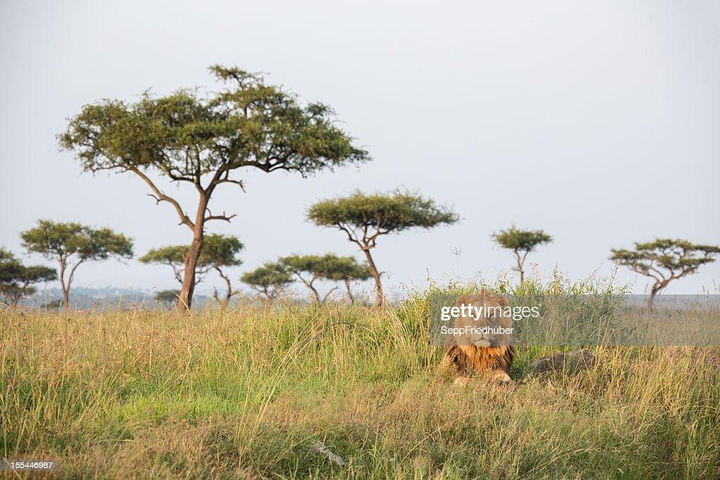 A lonely male lion in the Masai Mara Kenia