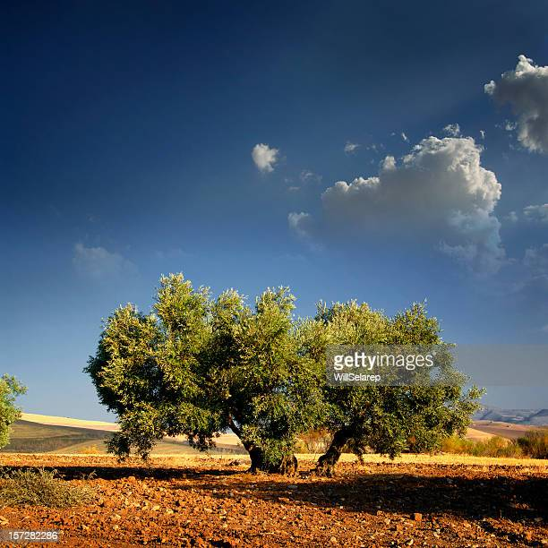 Lonely Olive's tree