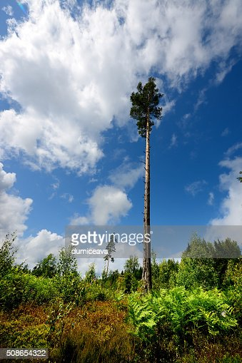 lonely pine in cutted forest scene : Stock Photo