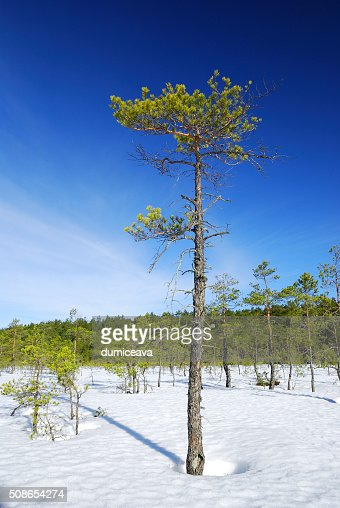 Lonely pine tree and winter forest lanscape : Stock Photo