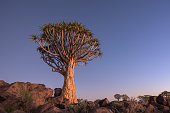 Lonely Quiver Tree at dusk at Keetmanshoop Quiver Tree Forest in Namibia