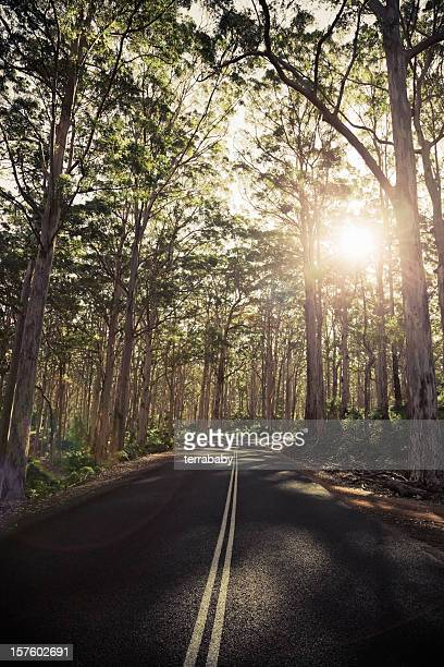 Lonely Road through Ancient Karri Tree Forest