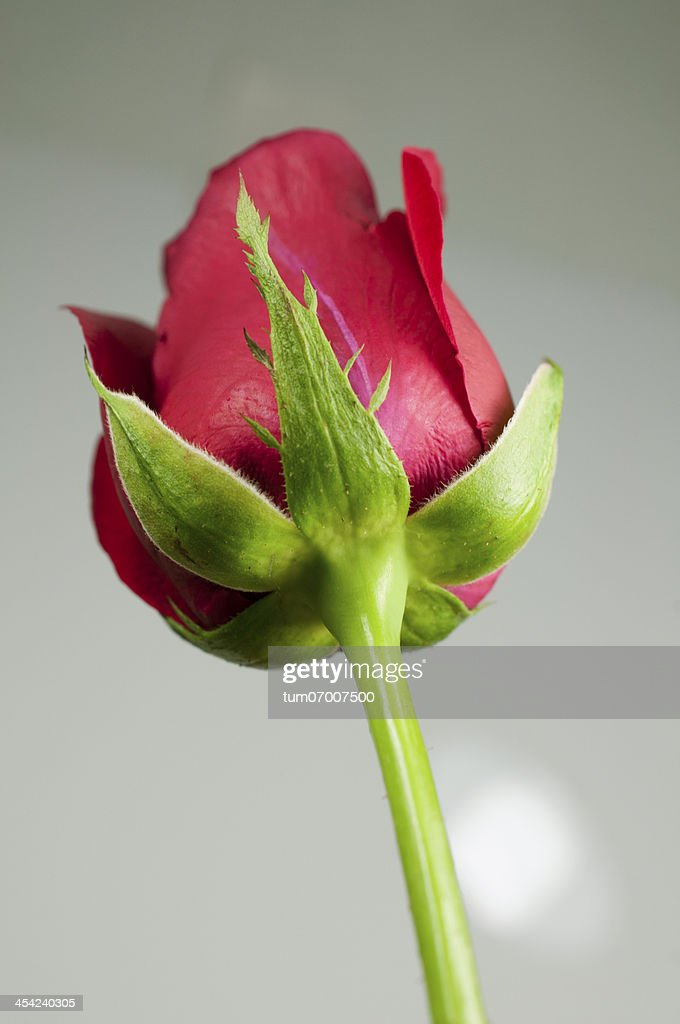 Lonely rose. : Stock Photo