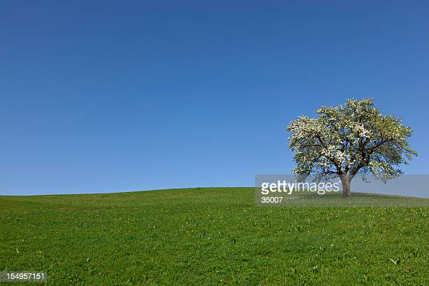 lonely spring tree