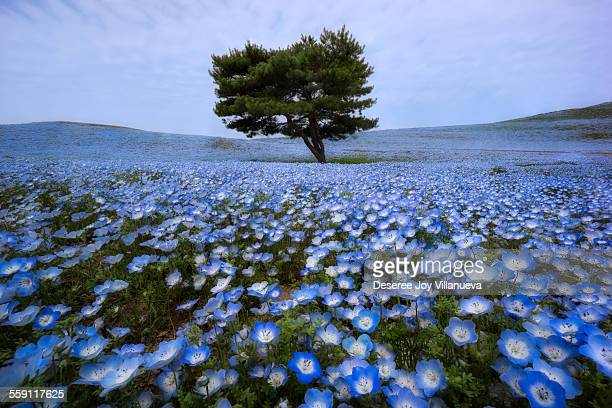 A Lonely Surrounded by Nemophila