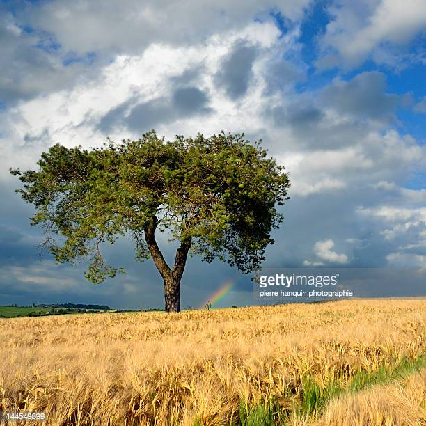 Lonely tree a in wheat field