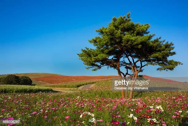 A Lonely Tree at Hitachikaihin Park, Ibaraki Japan