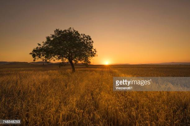 Lonely tree at scenic sunset