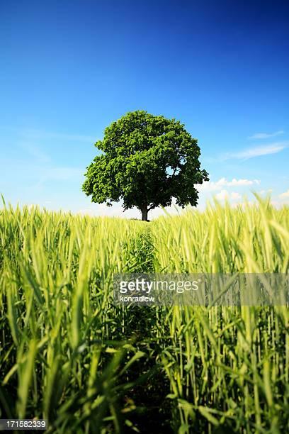 Lonely Tree in a Wheat Field - Landscape