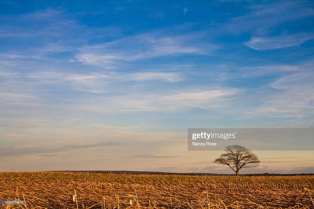 Lonely tree in mowed cornfield : Stock Photo