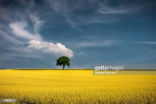 Lonely Tree in Rapeseed Field